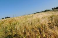 les cultures de céréales